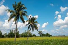 Grünes Reisfeld mit blauem Himmel Lizenzfreie Stockfotografie