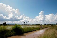 Grünes Reisfeld mit blauem Himmel Stockbild