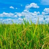 Grünes Reisfeld mit blauem Himmel Stockfotos