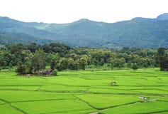 Grünes Reisfeld mit grünem Gebirgshintergrund Stockfotografie