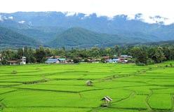 Grünes Reisfeld mit grünem Gebirgshintergrund Stockbilder