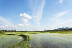 Grünes Reisfeld mit Himmel und Wolke Stockfotografie