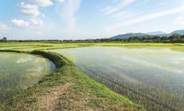 Grünes Reisfeld mit Himmel und Wolke Stockbild