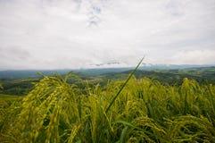 Grünes Reisfeld mit Nebel Stockbilder