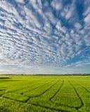 Grünes Reisfeld mit schönem Himmel und Wolke Lizenzfreie Stockbilder