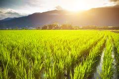 Grünes Reisfeld mit Wolke und Berg Lizenzfreies Stockbild