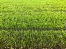 Grünes Reisfeld morgens Stockbild