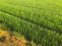 Grünes Reisfeld morgens Stockfoto