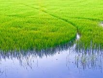 Grünes Reisfeld Stockbild