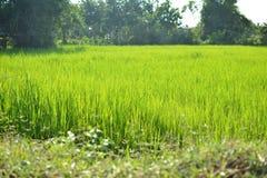 Grünes Reisfeld in Thailand Stockbilder