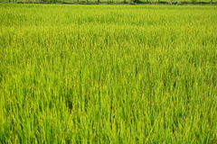 Grünes Reisfeld in Thailand Lizenzfreies Stockbild