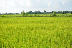 Grünes Reisfeld in Thailand Lizenzfreie Stockbilder