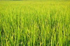 Grünes Reisfeld in Thailand Stockbild