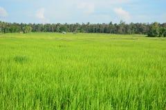 Grünes Reisfeld in Thailand Lizenzfreie Stockfotos