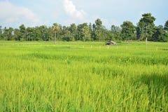 Grünes Reisfeld in Thailand Stockfotografie