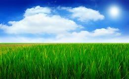 Grünes Reisfeld und schöner Himmel Stockfotos