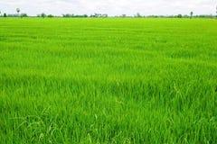 Grünes Reisfeld weit Stockfotos