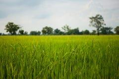 Grünes Reisfeldgras mit blauem Himmel Stockfotos