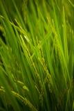 Grünes Reisfeldgras mit blauem Himmel Lizenzfreie Stockbilder