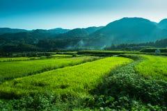 Grünes Reisfild und -berg Stockbilder