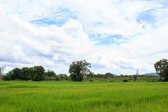 Grünes Reisreisfeld mit Baum- und Wolkenhimmel Lizenzfreie Stockbilder
