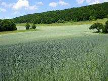 Grünes Roggenfeld Stockbilder