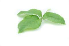 Grünes Rosenblatt Stockbild