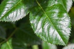 Grünes Rosenblatt lokalisiert im Garten Lizenzfreie Stockbilder