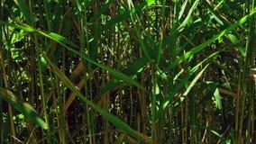 Grünes Schilf mit schönen Blättern auf dem Freilicht stock video