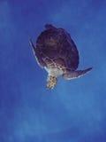 Grünes Seeschildkröte Lizenzfreie Stockbilder
