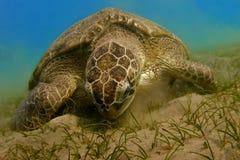 Grünes Seeschildkröte Lizenzfreies Stockfoto