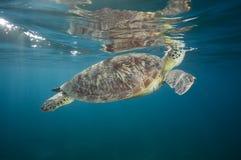 GRÜNES SEEschildkröte Chelonia mydas Lizenzfreies Stockfoto