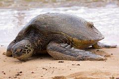 Grünes Seeschildkröte an Land Lizenzfreie Stockfotografie