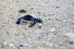 Grünes SeeschildkröteHatchling lizenzfreie stockfotografie
