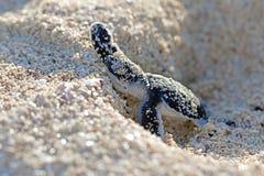 Grünes SeeschildkröteHatchling stockbild