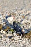 Grünes SeeschildkröteHatchling lizenzfreie stockbilder