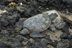 Grünes Seeschildkröten Stockfotografie