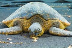 Grünes Seeschildkröten Lizenzfreies Stockfoto