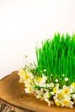 Grünes semeni auf dem hölzernen Stumpf, verziert mit kleinen Narzissen Stockfotos