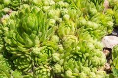 Grünes SempervÃvum Stockbilder
