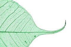 Grünes skeleton Blatt Stockfotos