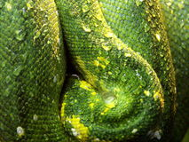 Grünes Snakeskin mit waterdrop Stockbild