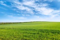 Grünes Sommerweizenfeld und blauer Himmel mit weißen Wolken Stockfotos