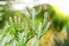 Grünes stacheliges Kaktus-Blatt in der Wüste Lizenzfreies Stockbild