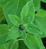 Grünes Sternchen von den Blättern Stockfotos
