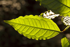 Grünes sunlit Blatt Lizenzfreie Stockfotos
