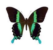 Grünes Swallowtail Stockfotografie