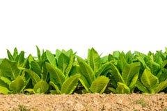 Grünes Tabakfeld auf weißem Hintergrund mit Beschneidungspfad Stockbild