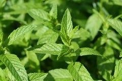 Grünes tadelloses Blatt Stockfotos