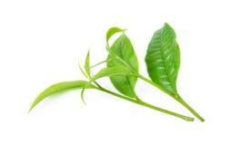 Grünes Teeblatt Stockfotos